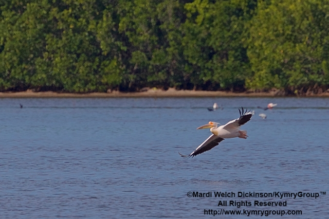 Great White Pelican, J.N Ding Darling NWR.©Mardi Welch Dickinson/ KymryGroup™ All Rights Reserved.