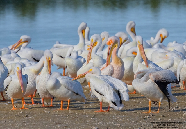 Great White Pelican, J.N Ding Darling NWR. February 28 - March 1, 2016. ©Mardi Welch Dickinson/ KymryGroup™ All Rights Reserved. Photo may not be used without written permission.