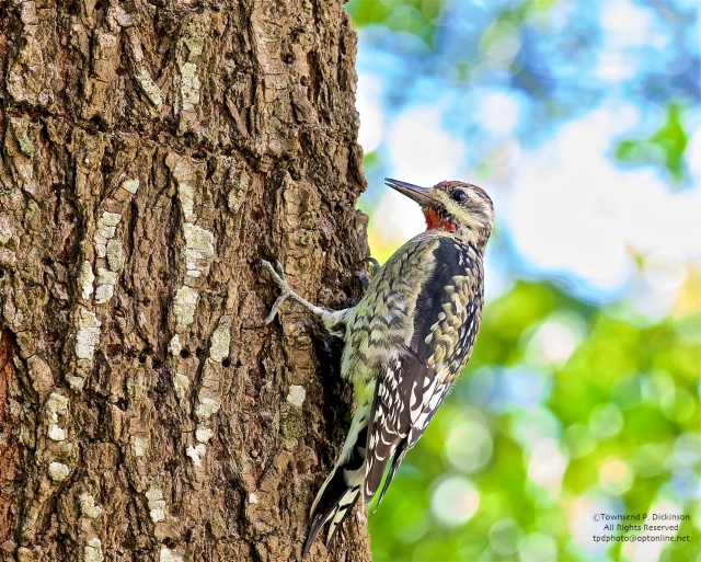 Yellow-bellied Sapsucker, fall migrant, foraging on tree at CMBO , West Cape May, NJ . ©Townsend P. Dickinson. All rights Reserved.
