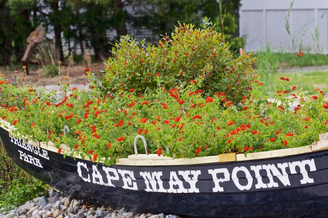Triangle Park, retired life guard saving boat as planter, with Monarch in flight, site of Monarch Butterfly banding stations, West Cape May, NJ. ©Townsend P. Dickinson. All Rights Reserved.