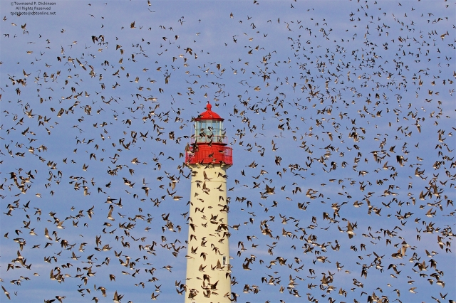Tree Swallows, fall migrants foraging over Cape May Point State Park, Cape May, NJ. ©Townsend P. Dickinson.