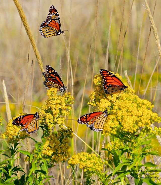 Monarch butterfly, fall migrants Cape May Point State Park, Cape May, NJ. ©Townsend P. Dickinson.