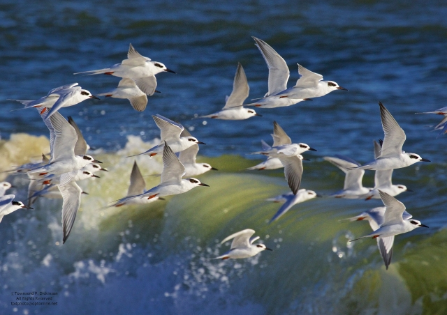 Forster's Terns in flight over Atlantic Ocean, fall, Cape May, NJ. ©Townsend P. Dickinson