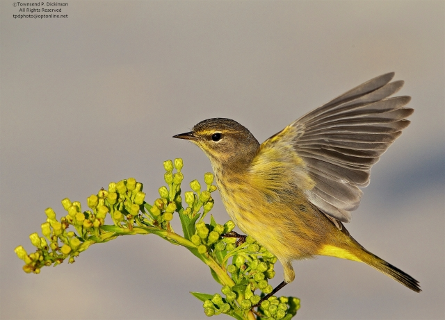 Palm Warbler, fall migrant, foraging on sand beach with goldenrod, Cape May Point, Cape May, NJ. ©Townsend P. Dickinson.