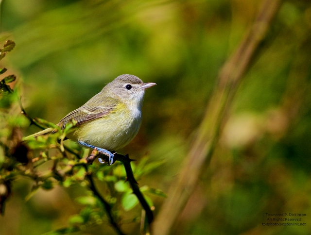 Bell's Vireo, vagrant, fall, Higbee Beach SP, Cape May, NJ. ©Townsend P. Dickinson.