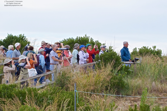 Peter Dunne, Author, Ambassador to Birds leads a walk through the Cape May Meadows on the dunes looking towards Cape May Lighthouse. ©Townsend P. Dickinson.