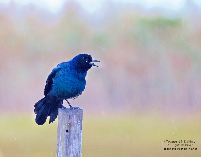 Boat-tailed Grackle, male display in the rain, fall, off Ocean Drive, Wildwood, NJ. ©Townsend P. Dickinson. All Rights Reserved.