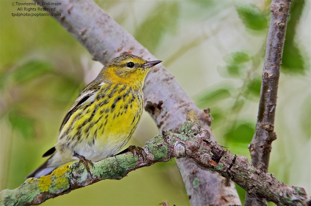 "Cape May Warbler, Dendroica tigrina, female, fall migrant, foraging in ""magic tree"" West Cape May, NJ. ©Townsend P. Dickinson. All Rights Reserved."
